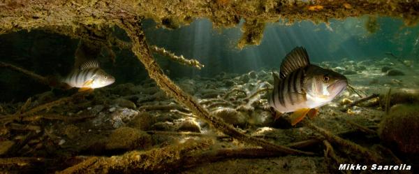 Ahven - perch - Perca fluviatilispaorama